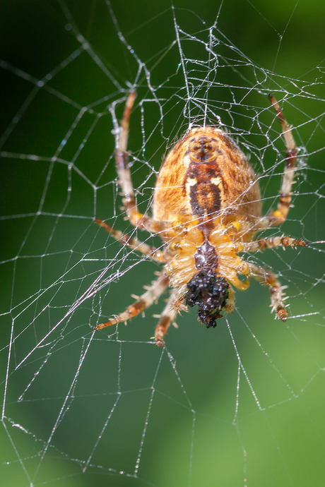 spin met prooi.