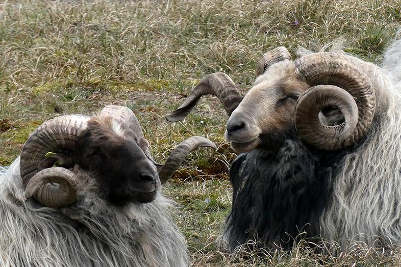 wat vind je van mij? - in de natuur trof ik deze schapen met hun prachtige gekrulde hoorns.  - foto door Krea10 op 15-04-2021 - locatie: Huizen, Nederland - deze foto bevat: licht, natuur, natuurlijk materiaal, terrestrische dieren, gras, werkend dier, hoorn, argali, snuit, grasland