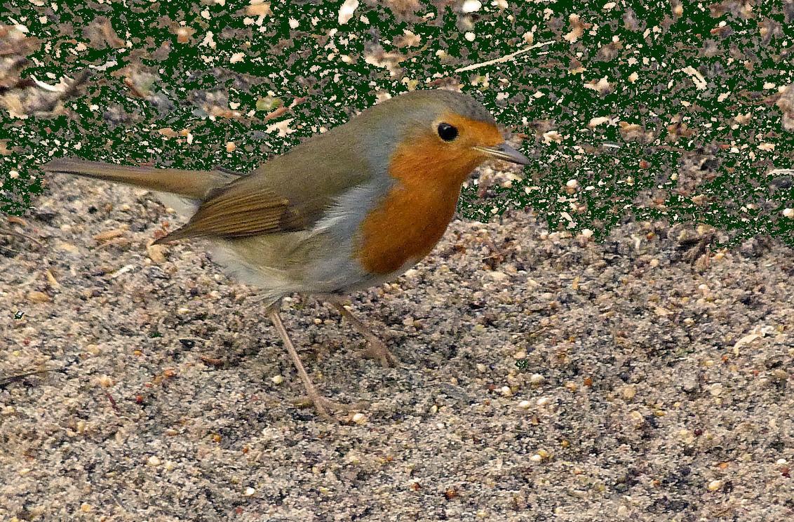 Roodborstje - Deze foto heb ik genomen van een afstand van ongeveer 4 meter, half verscholen achter een schutting.  Het roodborstje is een vrij gedrongen vogeltj - foto door heljo op 10-03-2014 - deze foto bevat: roodborst, verspreidingsgebied, broedterrein