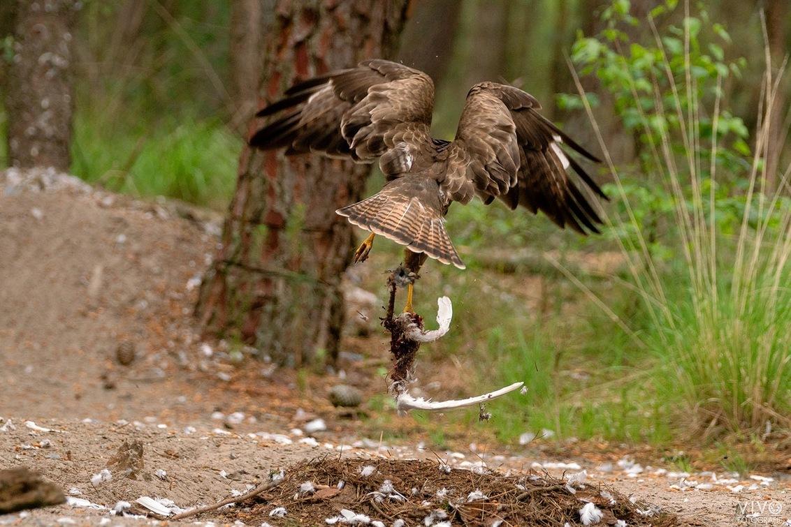 Uitgegeten - Buizerd vertrekt met de restanten van zijn/haar maaltijd. - foto door Vivo op 08-09-2019 - deze foto bevat: natuur, vogels, buizerd, roofvogel, wildlife, fotohut