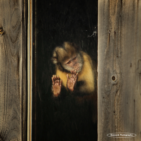 I want to break free.... - - - foto door MichaelJohn op 28-12-2015 - deze foto bevat: dierentuin, aap, monkey, zoo, maruscik, maruscik photography