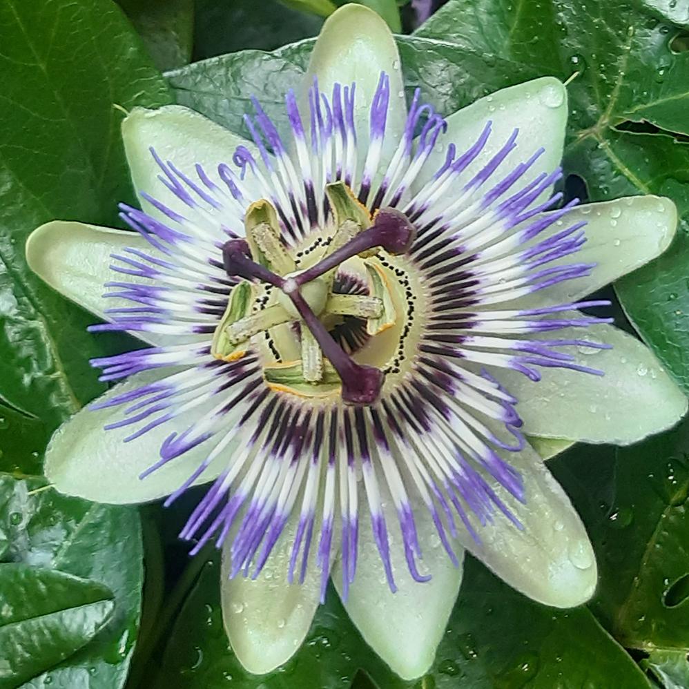 passiebloem - mijn lievelingsplant - foto door Krea10 op 13-04-2021 - locatie: Huizen, Nederland - deze foto bevat: bloem, fabriek, paarse passiebloem, groen, blauw, plantkunde, bloemblaadje, purper, terrestrische plant, bloeiende plant