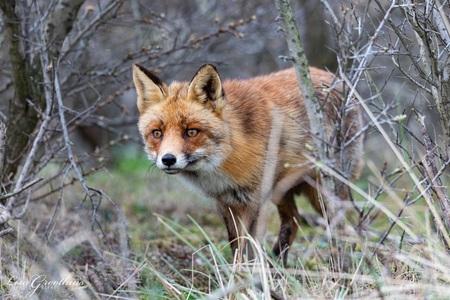 Vos - - - foto door LGphotography op 23-11-2020 - deze foto bevat: natuur, dieren, vos, amsterdamsewaterleidingduinen
