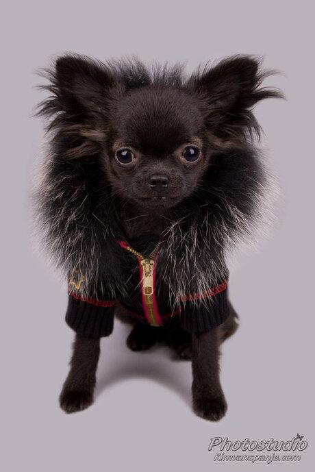 Bowie de Chihuahua