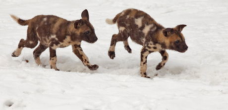 Puppies in the snow