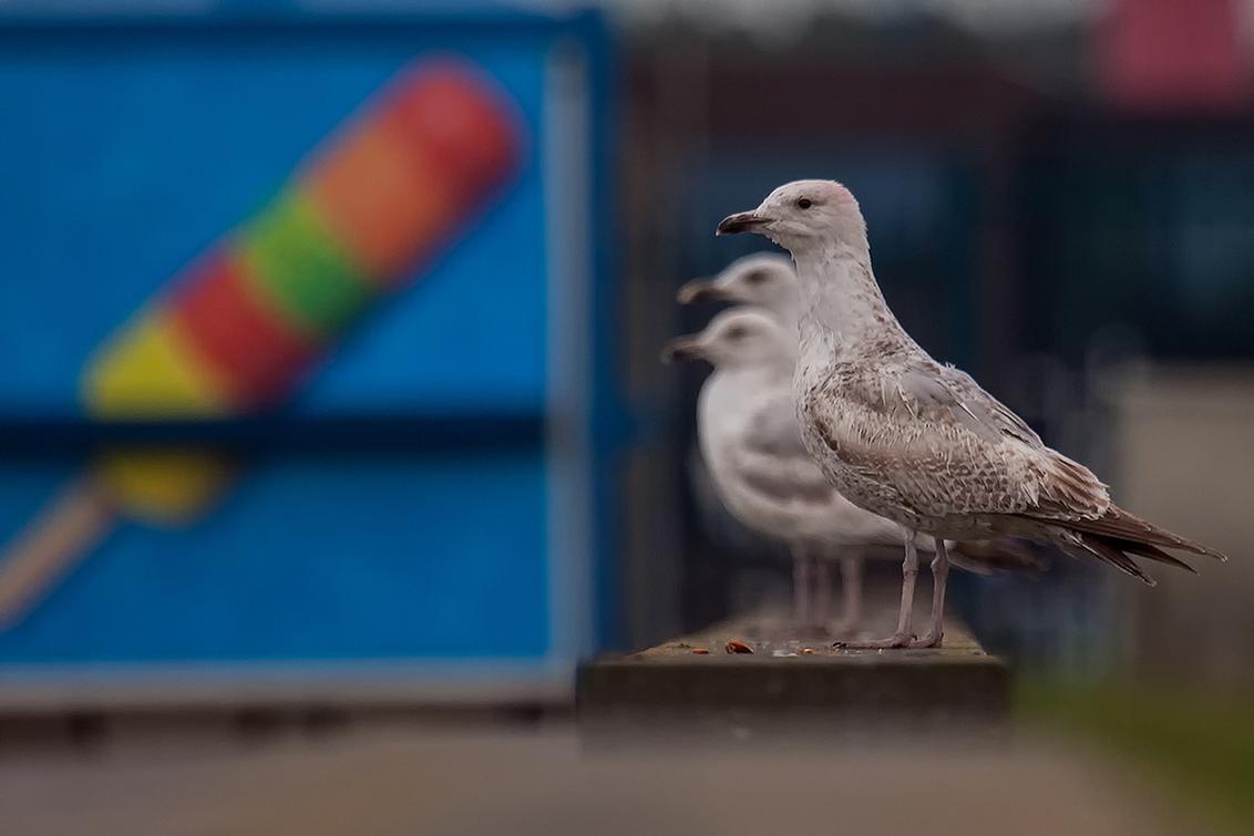 Mine Mine Mine - Nu dat het weer beter word krijgen zelfs de vogels zin in een ijsje. Moest aan de meeuwen in de tekenfilm Nemo denken waar de meeuwen bij het zien v - foto door daan de vos op 30-04-2016 - deze foto bevat: kleur, meeuw, natuur, vogels, ijsje, kust, zilvermeeuw, drie, watervogels