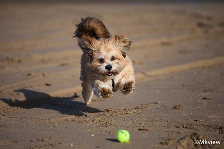 Play ball - Lekker uitwaaien op het strand met het zonnige weer vandaag. Meteen een mooie gelegenheid om twee Lhasa Apso's vast te leggen. Hier een foto, komende - foto door mkview op 01-11-2015 - deze foto bevat: strand, spelen, hond, zand, canon, bal, beweging, springen, rennen, focus, lhasa, tennisbal, apporteren, apso, hondenfotografie, lhasaapso