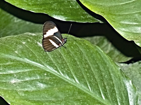 De passiebloemvlinder Heliconius sara theudela.