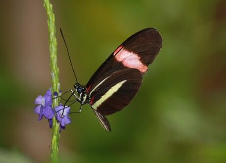 Passiebloem Vlinder