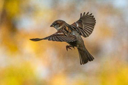 vliegende mus - opvliegende mus. - foto door peter-205 op 27-02-2021 - deze foto bevat: natuur, dieren, vogel, vliegen.