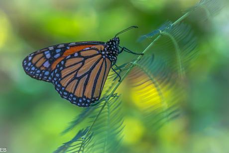 Monarchvlinder.