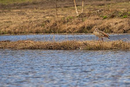 Nijlgans - Nijlgans is op zoek naar een plekje om een nestje te maken, maar moet eerst nog ene partner vinden want er was daar maar éen nijlgans te zien.  Bedan - foto door JerPet op 14-04-2021 - locatie: 9466 Gasteren, Nederland - deze foto bevat: nijlgans, water, riet, natuur, water, vogel, fabriek, bek, natuurlijk landschap, meer, bank, getijdenmoeras, fluviatiele landvormen van beken, zoetwatermoeras
