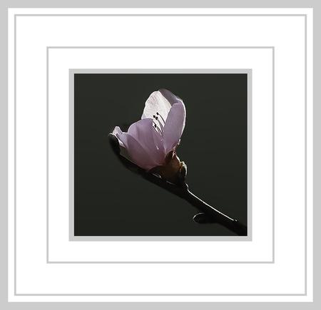 Voorjaar 2021 - Een eenzame bloesem - foto door jos1953 op 15-04-2021 - locatie: Hasselt, België - deze foto bevat: bloem, fabriek, bloemblaadje, kunst, rechthoek, lettertype, magenta, bloeiende plant, pedicel, takje