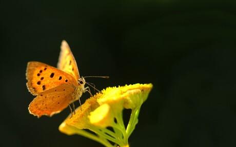 vlinder tje