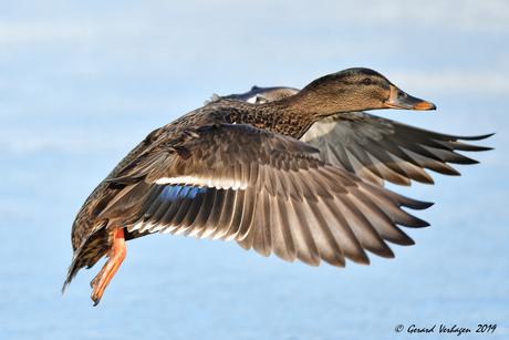 Flying Duck ..............