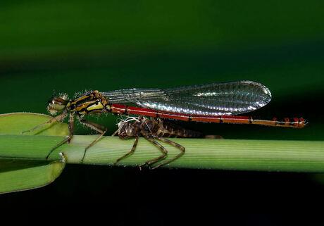 De vuurjuffer en het overblijfsel van zijn/haar larve stadium, wat nu alleen nog maar een omhulsel is.