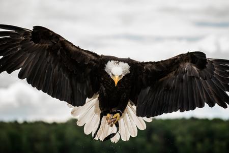 Bald eagle - Amerikaanse zeearend gefotografeerd op de Fotofair - foto door leondoorn op 29-12-2017 - deze foto bevat: natuur, dieren, zeearend, roofvogel, nederland, cursus, amerikaanse zeearend