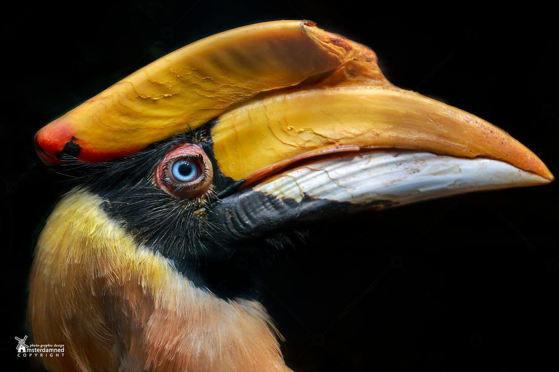 Avifauna - De dubbelhoornige neushoornvogel (Buceros bicornis) is een van de grootste soorten neushoornvogels en komt voor in Zuid- en Zuidoost-Azië. - foto door amsterdamned_zoom op 13-08-2018 - deze foto bevat: park, vogel, dier, holland, nederland, avifauna, alphen, neushoornvogel, vogelpark, alphen aan den rijn, Zuid Holland, buceros bicornis, dubbelhoornige neushoornvogel