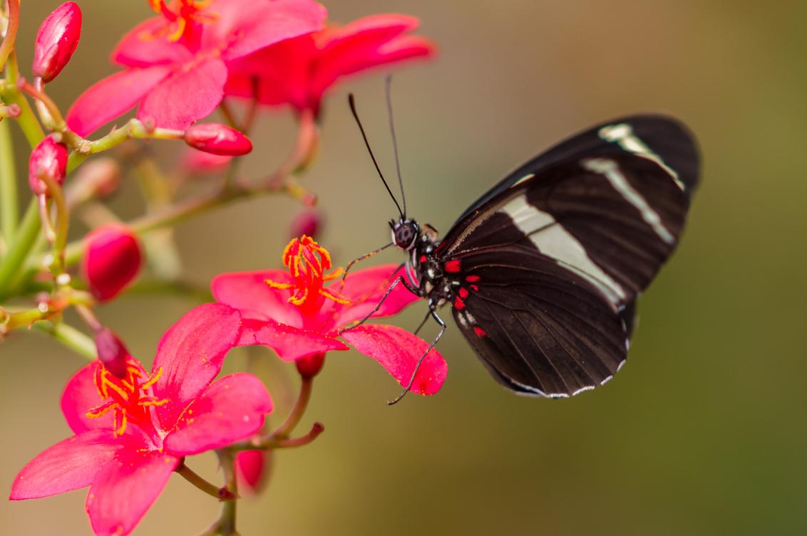 Vlinder op bloem - - - foto door Bazza nl op 26-09-2015 - deze foto bevat: roze, rood, macro, bloem, vlinder, vlindertuin, dof