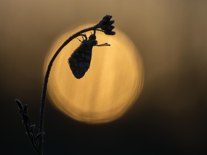 Oranje boven... - Oranjetipjes fotograferen! Afgelopen maandagochtend liep de wekker al om 04:00 uur af, de bedoeling was om Oranjetipjes met rijp en of dauw te fotogr - foto door BNN op 28-04-2021 - locatie: Drenthe, Nederland - deze foto bevat: bnn, oranjetipjes, vlinders, macro, fabriek, insect, afdeling, geleedpotigen, takje, lucht, lettertype, plaag, gelukkig, boom