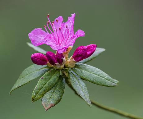 Rododendron indicum