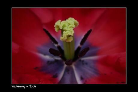 Tulp in close up