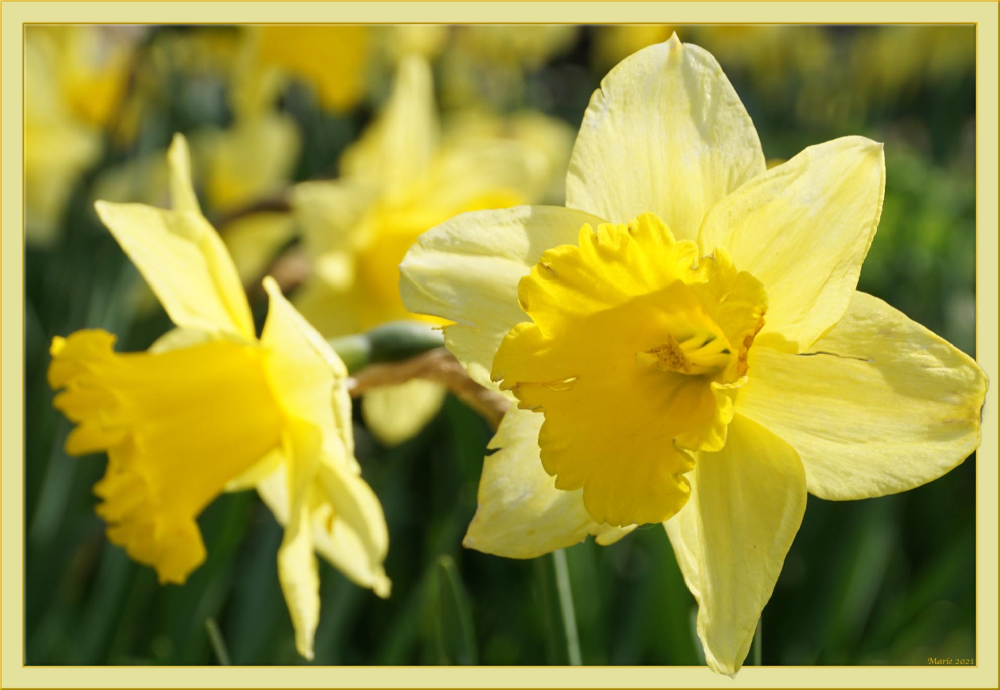 Lente - Narcissen - foto door Marie_zoom op 08-04-2021 - deze foto bevat: bloem, fabriek, bloemblaadje, terrestrische plant, narcissus, kruidachtige plant, bloeiende plant, pedicel, gras, wildflower