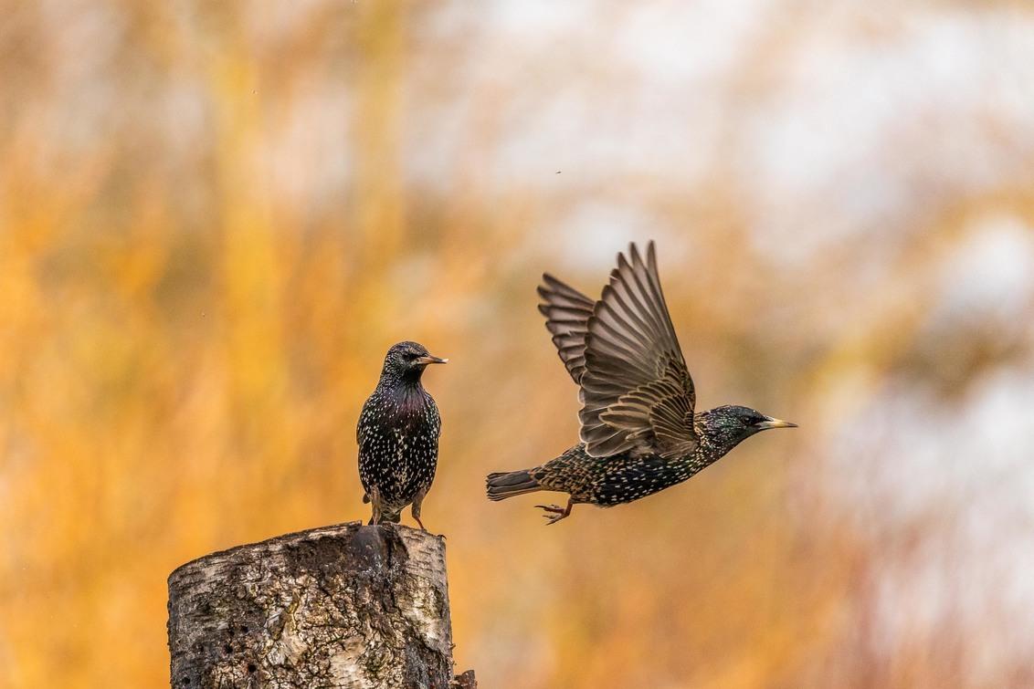 fly by. - Iso 2500. 400mm. F5.6. 1/2500sec. - foto door Fred-horst op 25-02-2021 - deze foto bevat: vogel, spreeuw, voorjaar, dof, tele, telelens, sturnus vulgaris, fredhorst, #zoomnl