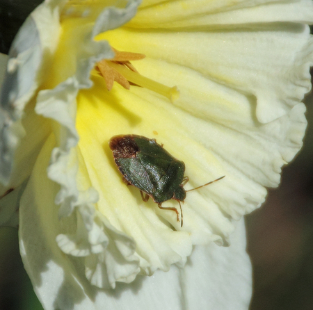 Groene Stinkwants - De wants lag in een narcis op te warmen. - foto door DinaLa op 16-04-2021 - locatie: 9051 Stiens, Nederland - deze foto bevat: bloem, fabriek, bestuiver, insect, geleedpotigen, plantkunde, bloemblaadje, plaag, bloeiende plant, roos