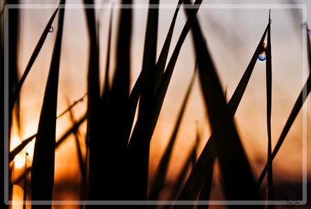 dauw met zonsopkomst - dauw en zonsopkomst door het hoge gras - foto door sgoedhart op 19-10-2010 - deze foto bevat: druppel, druppels, zonsopkomst, dauw