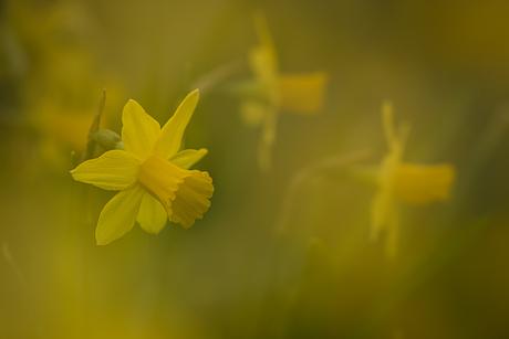 Narcis trio....