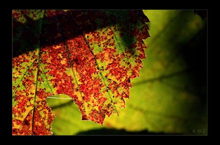 Bleeding Colours - Een tijdelijke golf van kleur door onze natuur! Laat de zon alsjeblieft zoveel mogelijk schijnen dit seizoen! - foto door daniel44 op 28-10-2009 - deze foto bevat: groen, rood, kleur, zon, natuur, geel, licht, herfst, blad, schaduw, daniel44