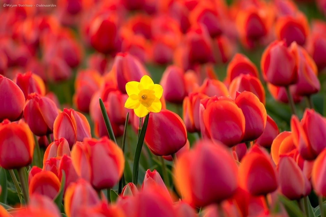 Alleen, maar toch niet alleen - Deze beauty stond alleen, maar was toch niet alleen... - foto door m_oudenaarden op 27-04-2020 - deze foto bevat: rood, bloem, tulpen, lente, natuur, geel, licht, tulp, narcis, avond, bewerkt, nederland, bewerking, polder, photoshop, noordholland, lightroom, sintmaartensvlotbrug, nik, noord-holland