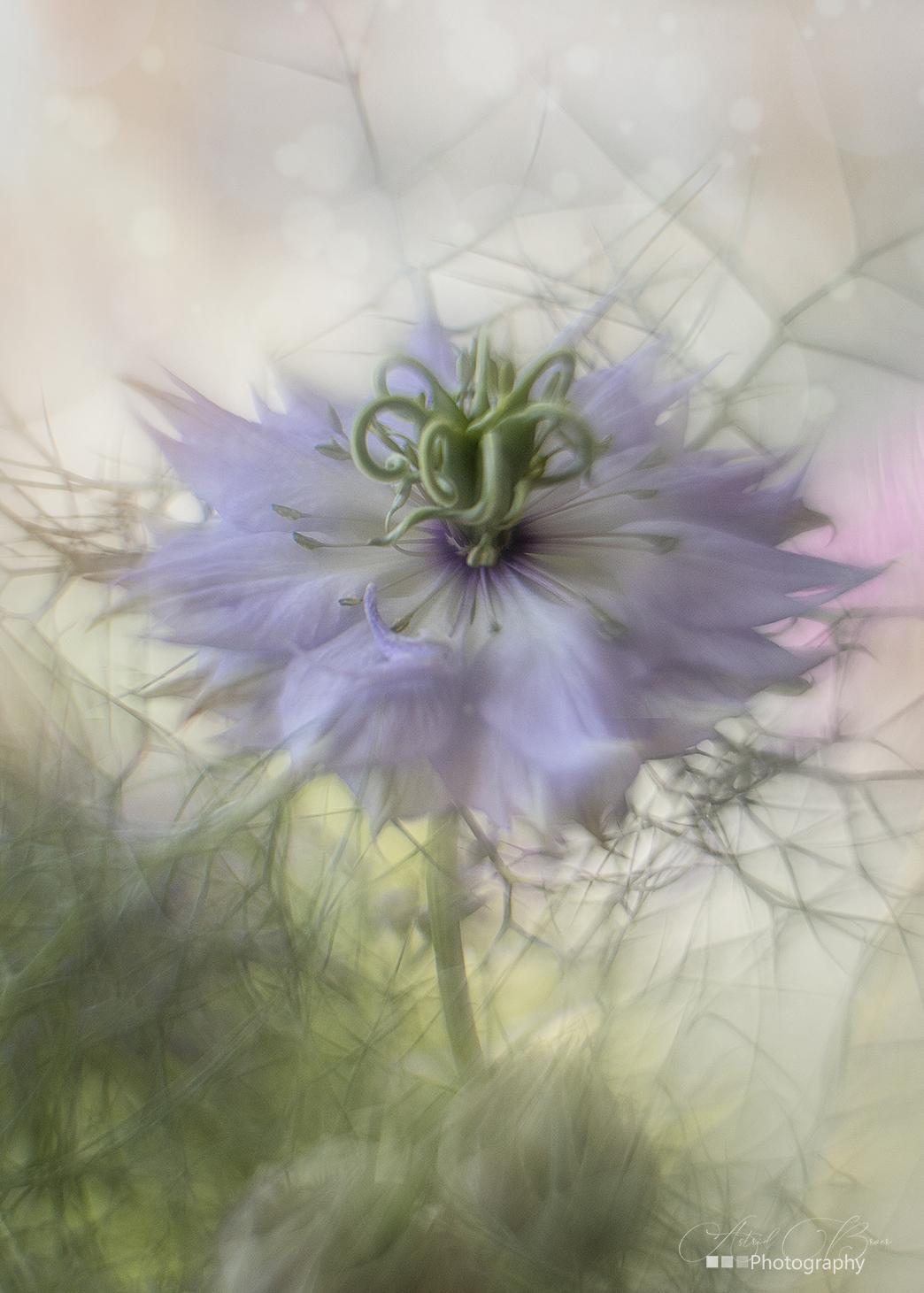 Juffertje in het groen - Deze foto is gemaakt met de Helios 44-2 Petzval - foto door AstridBroer op 16-04-2021 - deze foto bevat: bloem, dromerig, lila, vintage, vintagelens, helios, petzval, soft, bokeh, voorjaar, bloem, liefde in de mist, fabriek, bloemblaadje, purper, kruidachtige plant, kunst, gras, detailopname, bloeiende plant