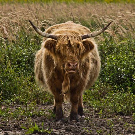 Schotse Hooglander op Tiengemeten