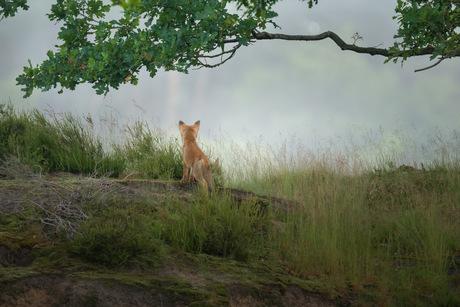 Jonge vos op de uitkijk.