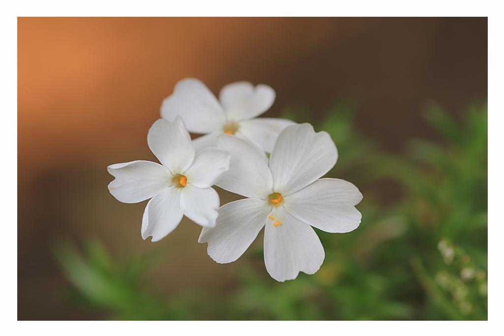 Flox. - Flox of Vlambloem uit eigen tuin. Bedankt voor jullie reacties op mijn vorige foto.  Groet Patrick. - foto door trix70 op 09-04-2014 - deze foto bevat: macro, wit, zon, bloem, lente, licht, tuin, dof, bokeh