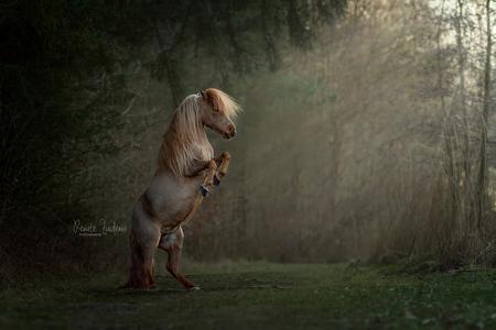 Magical pony - Miniatuur pony Rakker vlak voor zonsondergang in een prachtig bos. - foto door RenateZuidemaFotografie op 23-02-2021 - deze foto bevat: spring, lente, paard, bos, pony, shetlander, magic, forest, horse, magisch, magical, unicorn, miniatuur paard
