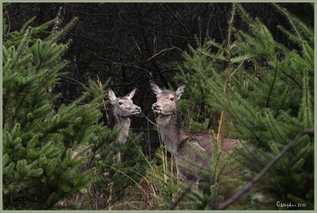 Betrapt - Tijdens een wandelingetje door het bos zag ik de toppen van de naaldboompjes bewegen ik was gelijk gespits op wat er verder ging gebeuren maar er geb - foto door wildspotter op 15-04-2010 - deze foto bevat: edelhert, hinde, hindes, wildspotter, smaldier