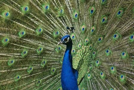 Pauw - Pauw in vol ornaat, schitterende dieren! - foto door TrudyH op 17-05-2009 - deze foto bevat: natuur, vogels, dieren, vogel, pauw, pauwen, trudyh