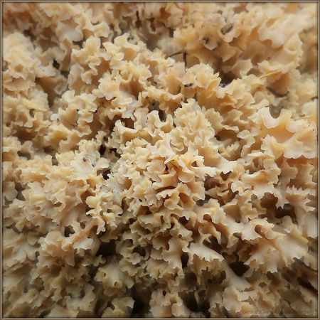 Grote Sponszwam - Een detail van de Grote Sponszwam gespot op de Utrechtse Heuvelrug. Deze vrij algemeen voorkomende paddenstoel vind je op zandgrond veelal aan de voe - foto door gaklaasse op 24-10-2015 - deze foto bevat: zwam, paddestoel, sponszwam, utrechtse heuvelrug