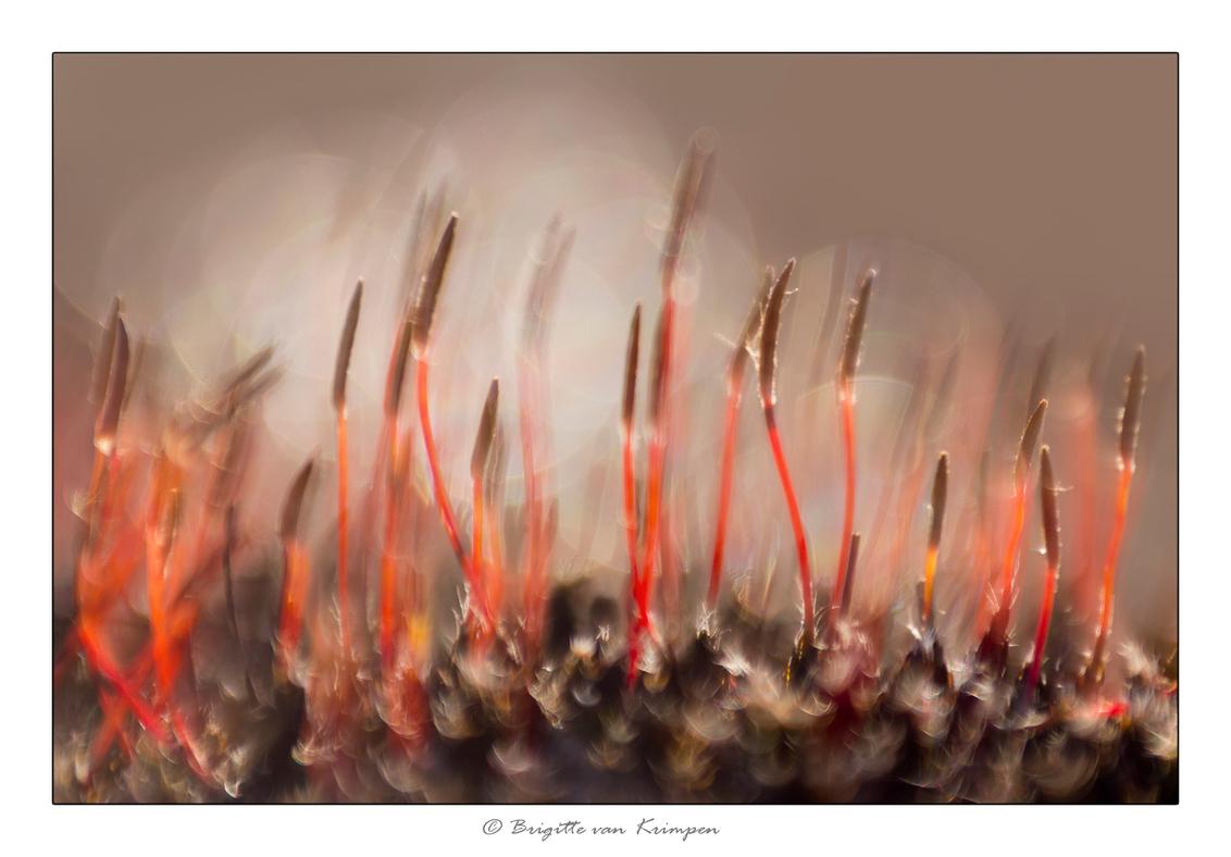 Red hair - ook deze is van vanochtend vroeg in de kou samen met Karin (Kariver)  Genieten zo vroeg in de ochtend van al dat moois Bloeiend ruig haarmos - foto door Puck101259 op 25-02-2018 - deze foto bevat: groen, macro, zon, natuur, bruin, druppel, geel, licht, mos, winter, zwart, brabant, tegenlicht, holland, dauw, dof, stuifzand, bokeh, brigitte, ruig haarmos