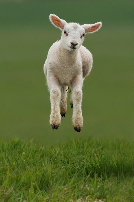 Springend Lammetje - Meer Zin & Onzin over zwevende Lammetjes: [url=http://roeselien.wordpress.com/2012/04/07/72-levitating-lambs//]Levitating Lambs[/url] - foto door thrumyeye op 08-04-2012 - deze foto bevat: lente, schaap, lammetje, canon, springen, lam, sprong, schaapje, natuurfotografie, roeselien raimond