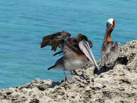 verlegen pelikaan - wat vind je van me liefie? - foto door Krea10 op 14-04-2021 - locatie: Aruba - deze foto bevat: water, vogel, bruine pelikaan, bek, meer, veer, pelecaniformes, pelikaan, vleugel, zeevogel