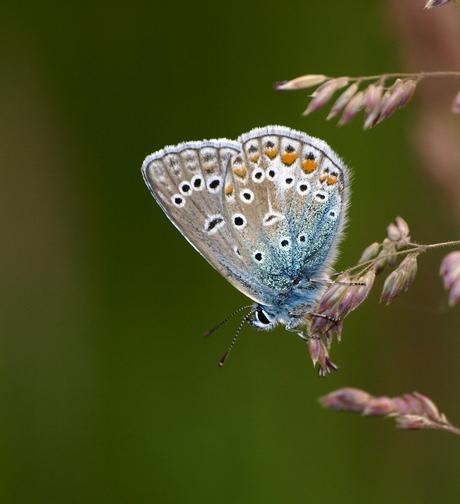Icarus Blauw