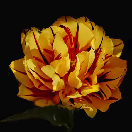 floraliën  - tulpen in het kasteel van groot-bijgaarden - foto door BriMo-foto op 05-05-2021 - locatie: Isidoor van Beverenstraat 5, 1702 Dilbeek, België - deze foto bevat: tulp,, bloem, lente, bloem, fabriek, bloemblaadje, venster, amber, tinten en schakeringen, rose familie, bloeiende plant, perzik, rose bestelling