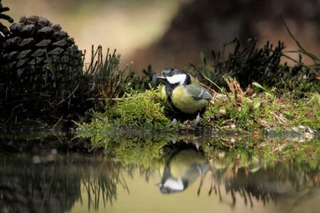 KoolMees - Ik vond de setting van deze Koolmees al drinkend wel mooi. Heerlijk genieten in een Vogel Hut - foto door fredoverstegen op 11-04-2021 - deze foto bevat: water, vogel, fabriek, watervoorraden, natuur, afdeling, natuurlijk landschap, plantkunde, vegetatie, organisme