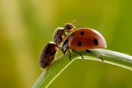 Ant vs ladybird