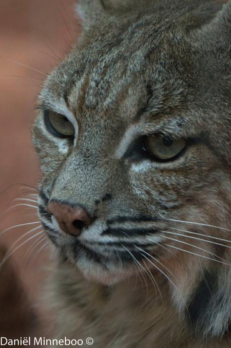 Niet rechts maar Lynx