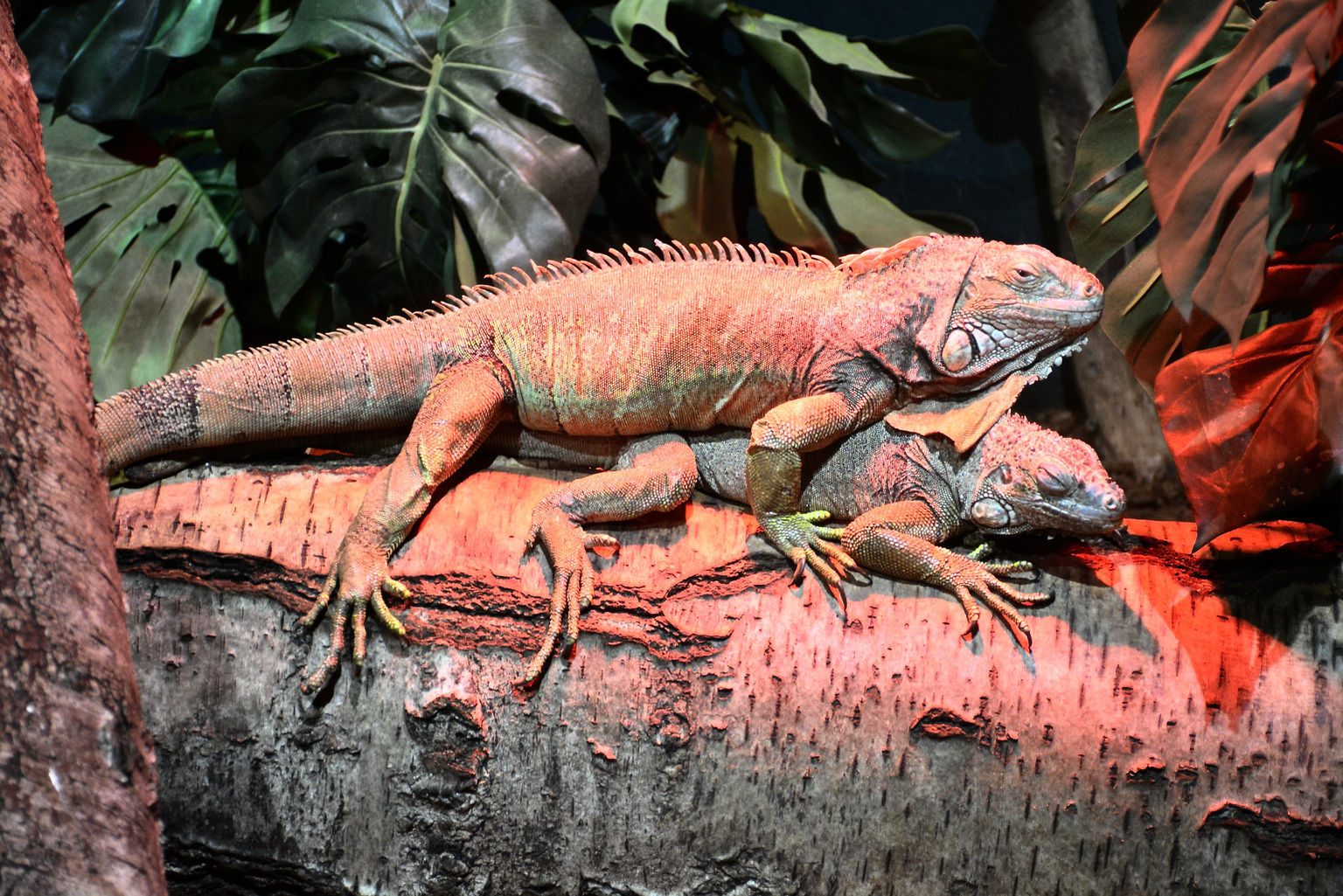 Kameleon - Pairi-Daiza - foto door winnybiets op 05-05-2021 - locatie: Brugelette, België - deze foto bevat: leguaan, reptiel, hagedis, geschaald reptiel, terrestrische dieren, fabriek, terrestrische plant, staart, dragon hagedis, klauw